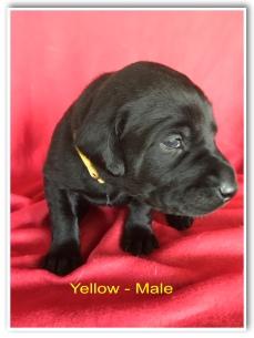 Yellow Male