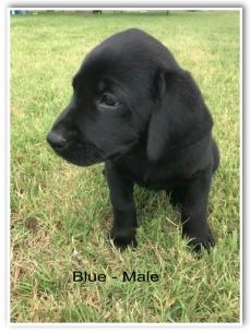 !Blue-Male 6 Wks