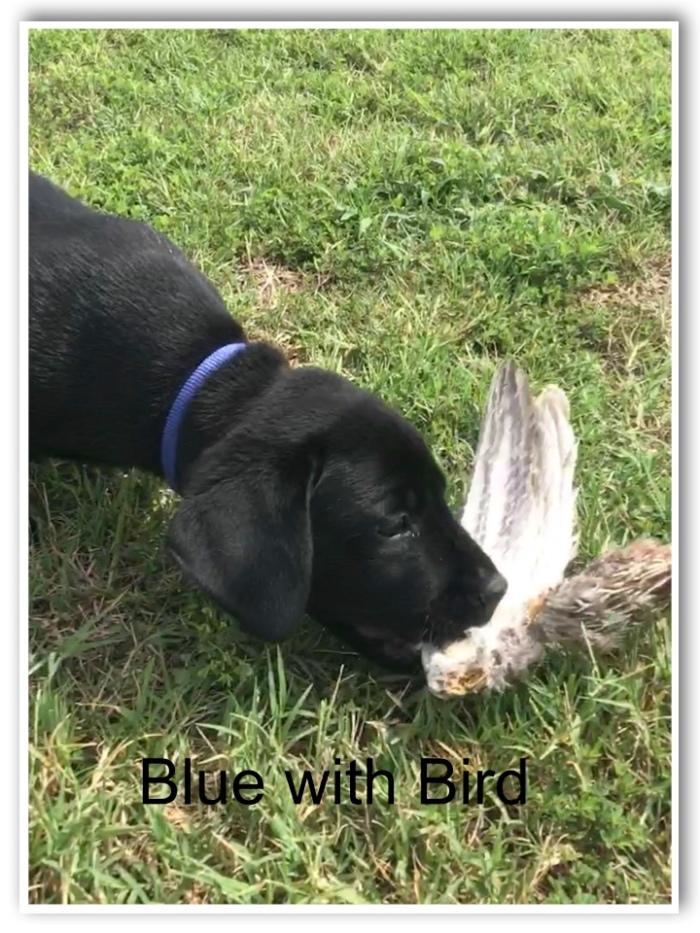 !Blue W-Bird