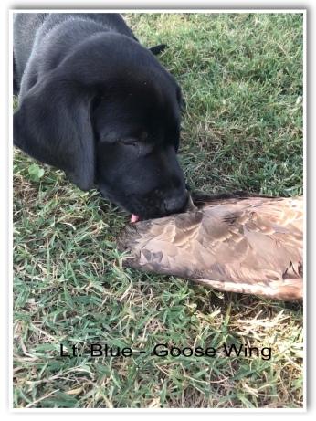 Lt. Blue Goose Wing