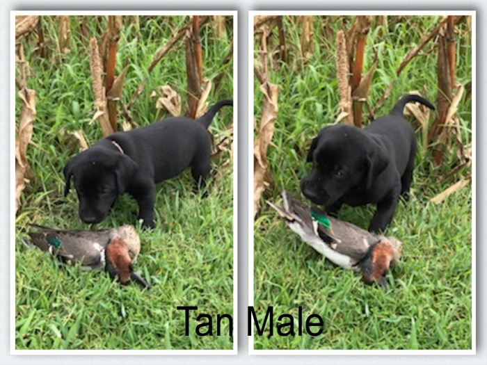 Tan Male - Duck