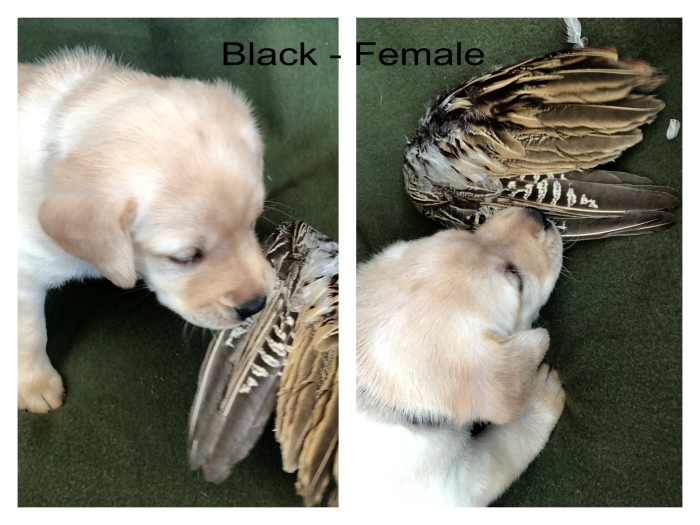 !Black Female Wing