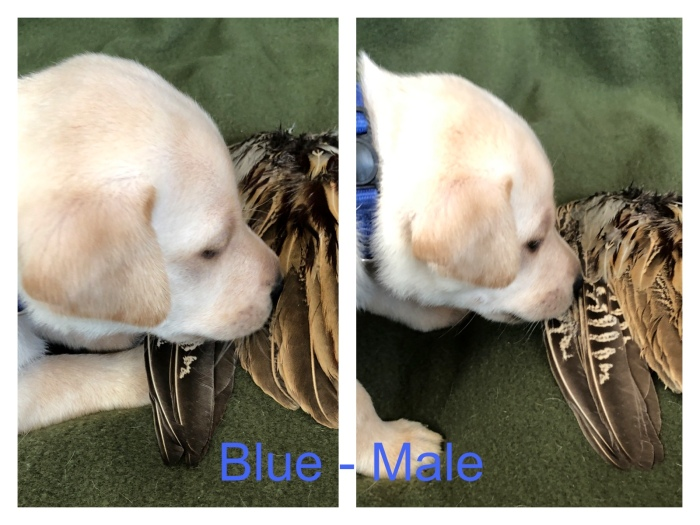 !Blue Male Wing