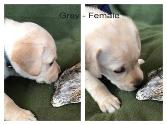 !Grey Female Wing