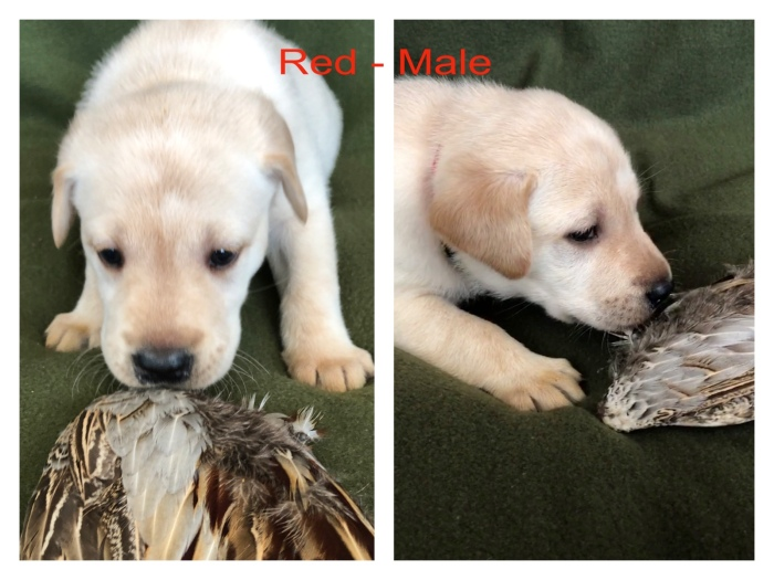 !Red Male Wing
