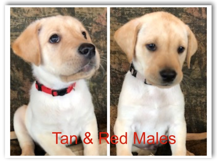 !Tan & Red Males Title 3-20-19